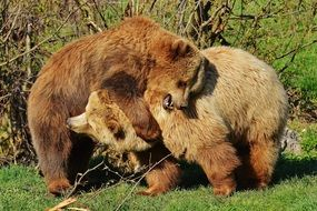 two brown bears in the wildpark poing