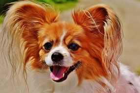 small dog breed Chihuahua applies to pets