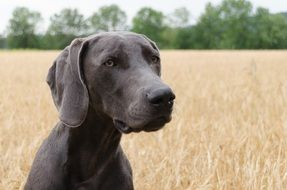 Dog Weimaraner Head in golden field