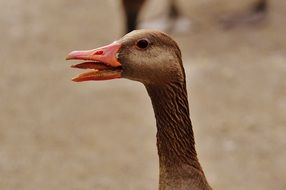 goose with opened beak