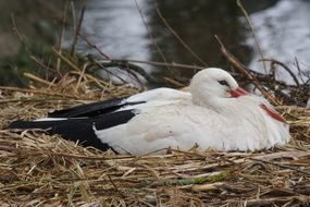 White stork sitting in a nest at the lake