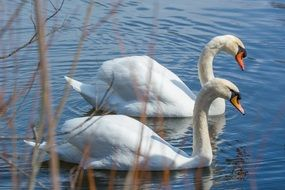 Two swans in lake