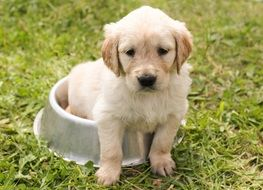 puppy of golden retriever on the meadow