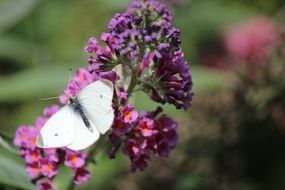 white butterfly on a bright purple flower