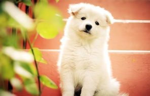 sitting white fluffy puppy