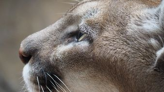 muzzle of a mountain lion