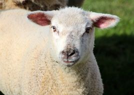white farm sheep