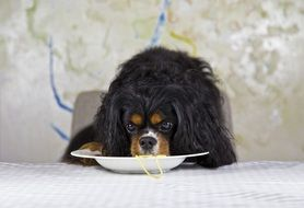 king charles spaniel eating noodles