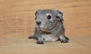 grey guinea pig on a wooden bench