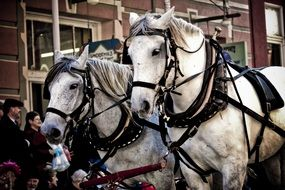 harnessed horses in parade in Texas