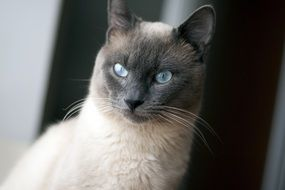 Siamese cat with blue eyes looking straight