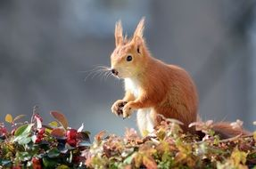 red squirrel on forest foliage