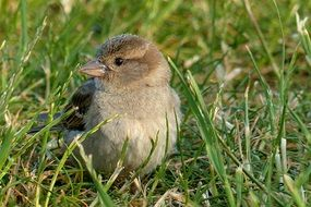 Picture of the young Sparrow