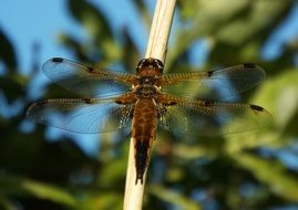 brown dragonfly on a plant stem