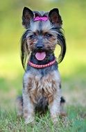 yorkshire terrier as a beauty