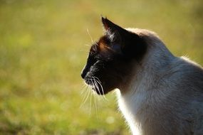 profile portrait of a siamese cat