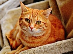Red Cute domestic cat Mackerel Tiger