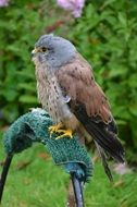 Kestrel Bird