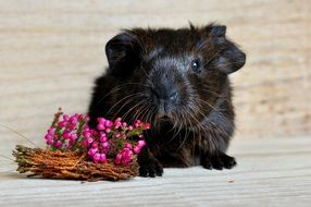 small black guinea pig