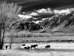 black and white photo of horses in the pasture