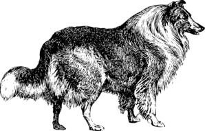 Canine Collie Dog drawing