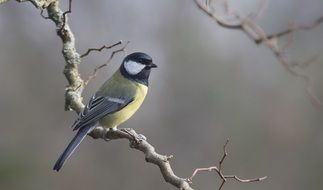 picture of the blue tit bird