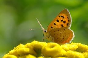 orange butterfly on the yellow flower
