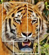 tiger photo collage