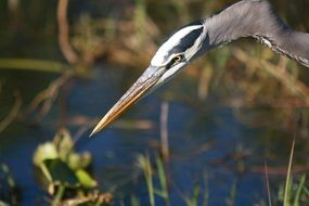 Great Blue Heron, Bird Portrait in wild