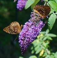 two passion butterflies in the spring garden