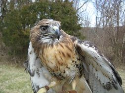 leached red tailed hawk