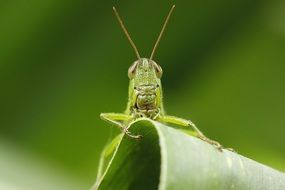 Macro photo of the green grasshopper on the leaf