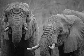 Black And White photo African elephants