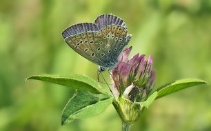 cute lovely Common Blue Klee