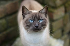 Beautiful Siamese cat with the blue eyes