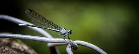 macro photo of the Damselfly Insect