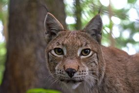 dangerous wild lynx in the forest