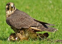 Falcon sits on the grass