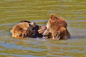 bears playing in the ware in the wildpark poing