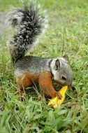 squirrel with food on green grass