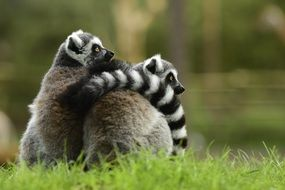 two lemurs is sitting close