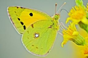 yellow lemon butterfly