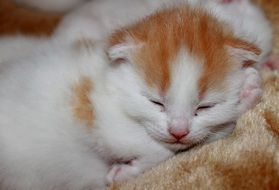 sweet white red Young Kittens