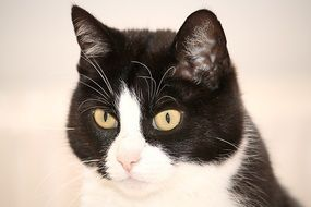 portrait of domestic black and white cat