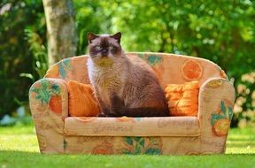 british shorthair cat on the small sofa