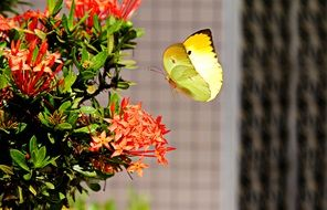 yellow butterfly at flower