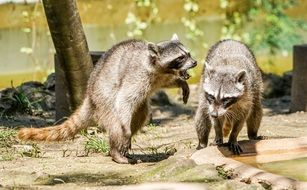 Raccoons Playing