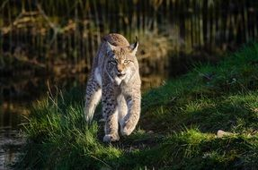 Lynx in the national park