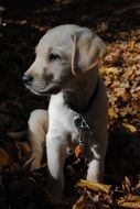 Labrador puppy sitting on dry leaves