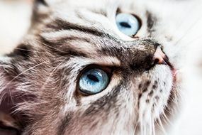 siberian forest cat with bright blue eyes close up